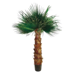 Pianta Palma Washingtonia