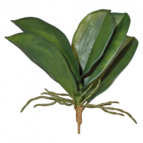 Orchia Leaves
